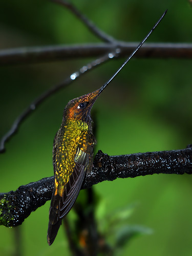 Sword-billed Hummingbird (Ensifera ensifera) | by David Cook Wildlife Photography