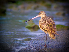 Marbled Godwit scans the beach | by tibchris