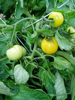 Ripening Tomatoes | by RHR Horticulture