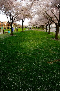 waterfront park and the cherry trees | by dabboj