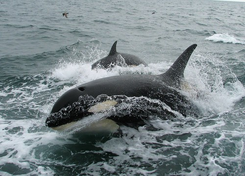 Killer Whale (Orcinus orca) | by Crappy Wildlife Photography