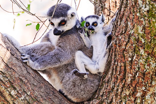 Mother lemur and her baby | by Tambako the Jaguar