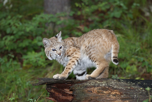 Adolescent Bobcat | by dbarronoss