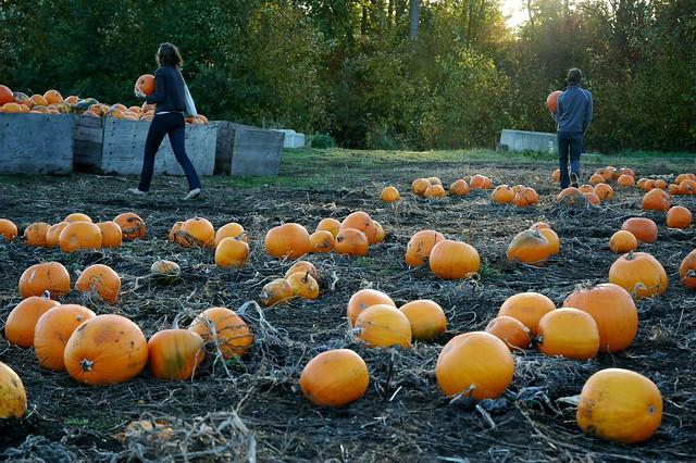 pumpkins aboboras nos EUA