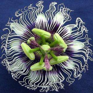 Passion fruit flower | by Nganguyen