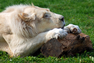 Lion blanc du Timbavati white lion | by meunierd