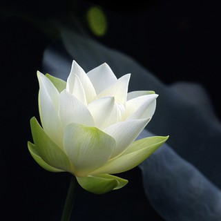 White Lotus...in early stage of blossom | by andyyleung