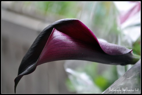 calla bloom photography by shaeree flickr. Black Bedroom Furniture Sets. Home Design Ideas