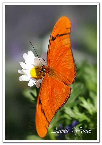 Julia Butterfly (Dryas julia) | by Aamir Yunus