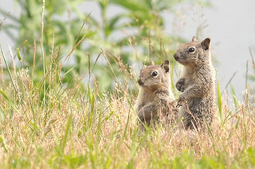 California Ground Squirrels | by Red~Star