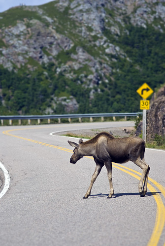moose crossing | by jhoc