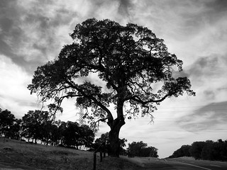 Oak tree by the highway | by The Real Devil Doll