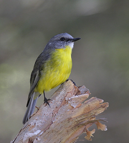 Eastern Yellow Robin | by 0ystercatcher