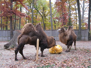 Camels and Pumpkin | by BunnyHugger
