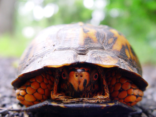 Eastern Box Turtle peeking out | by littleREDelf