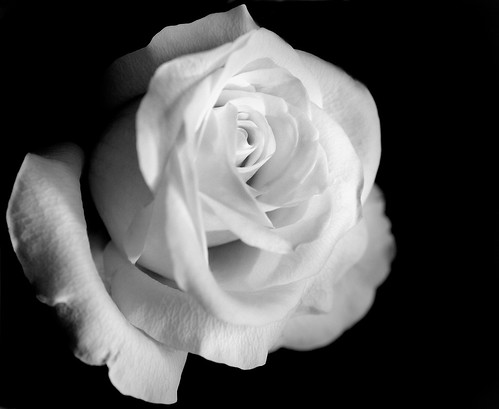 Black&White Rose | by linlaw39