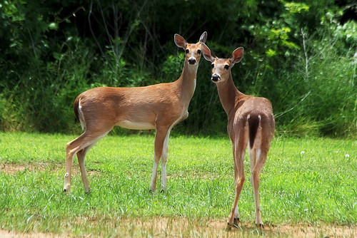 Whitetail Deer | by TexasEagle