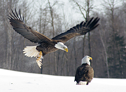 Bald Eagle In Flight | by Chris Gidney1