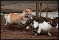 Drachlivye koty