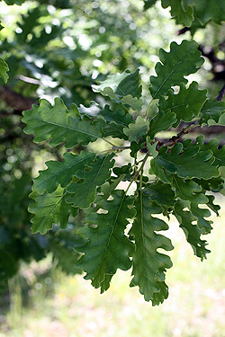 oak leaves | by David Lebovitz