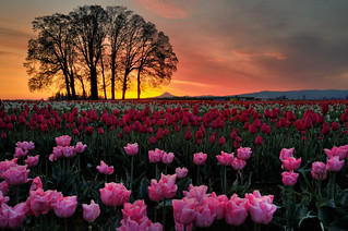 Bright Pink Beautiful Tulips! | by Gaz Photo's