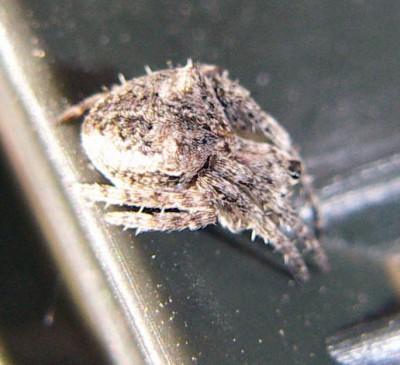 Araneus angulatus 3276428230_39e50e5209_o
