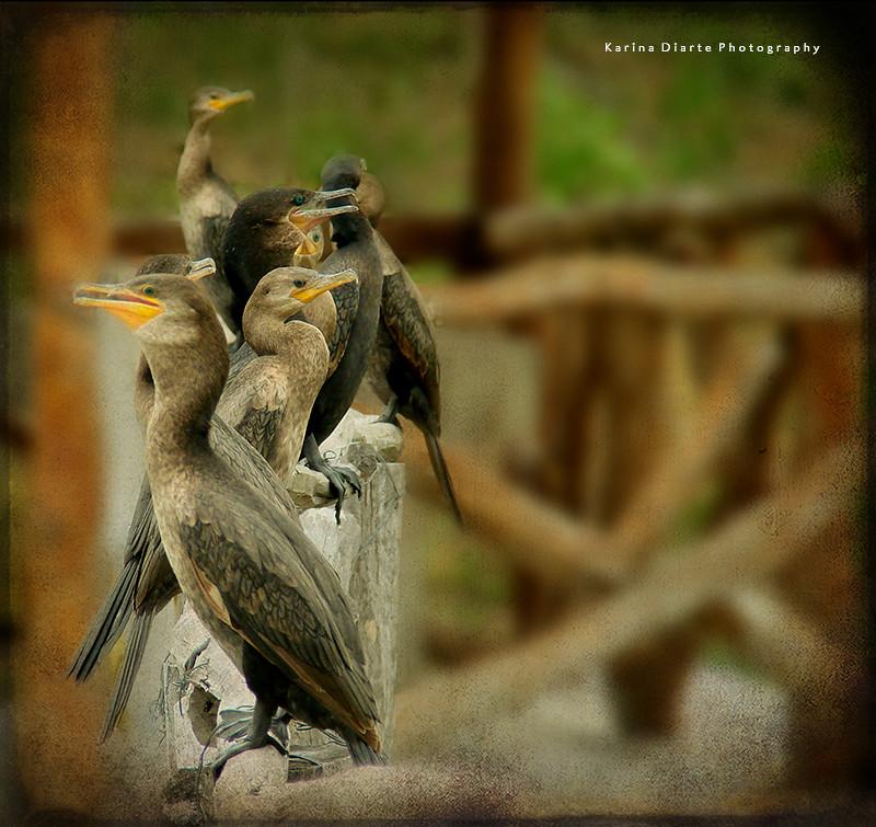 Cormorán - Neotropical Cormorant