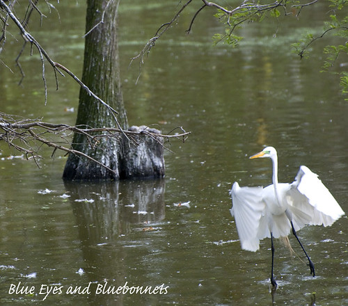 Great Egret | Shangri La Gardens | by Blue Eyes and Bluebonnets