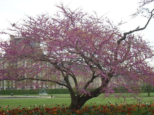 Arbre de jud e en fleurs aux tuileries blooming judas tr - Arbres de jardin ...