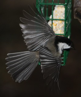 Black Capped Chickadee | by birdmandea