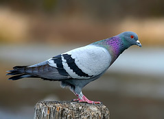 Rock Pigeon 01 | by TexasEagle