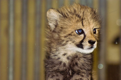 Amara, the baby cheetah | by vladdythephotogeek