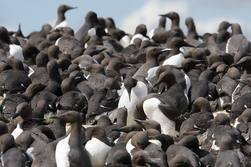 A few guillemots... | by Keith Marshall