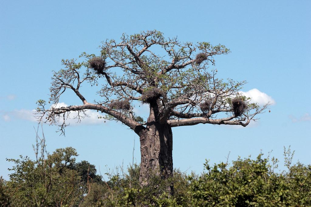 Boabab tree, Kruger National Park