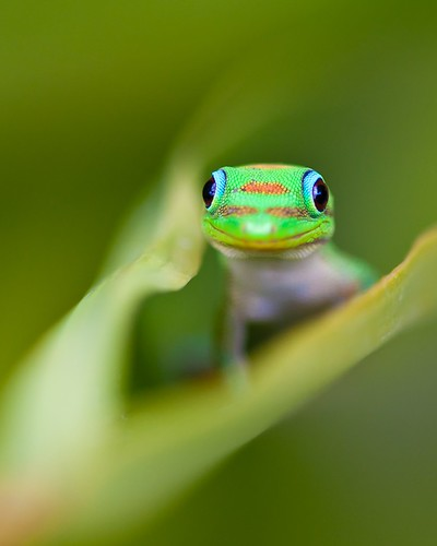 Curious Gekko | by dmuphotography