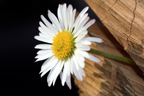 Marguerite | by michel57100
