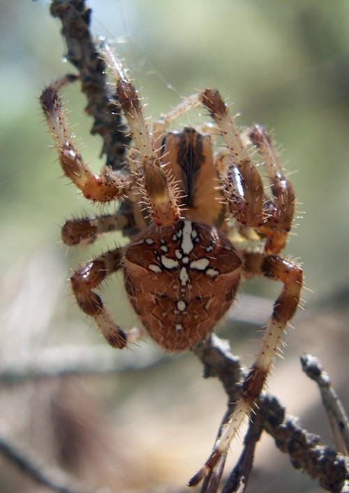 Araneus diadematus 3276428246_84540bd996_o