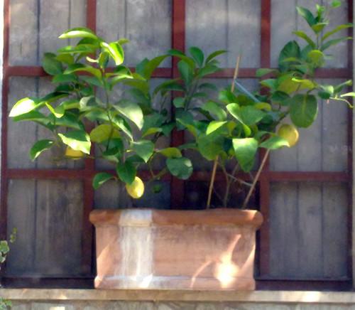 Lemon vaso con limoni fulvio casiraghi flickr for Limoni in vaso