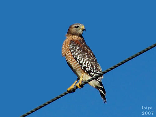 Red-shouldered Hawk, Buteo lineatus | by tsiya