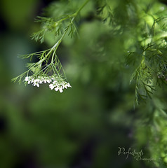 Ooops..... I let my parsley go to seed. | by Perfectoarts