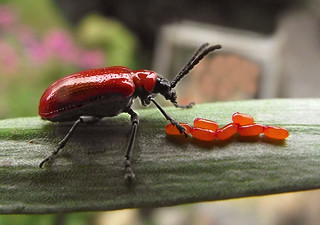 LILY BEETLE | by braybob49