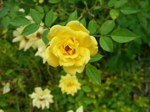 Yellow rose of Texas - in miniature | by pawightm (Patricia)