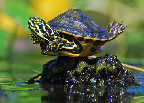 baby turtle balancing act | by Slingher