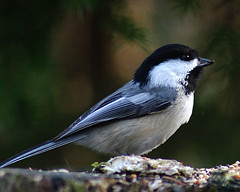 Black-capped Chickadee | by Chris Gidney1