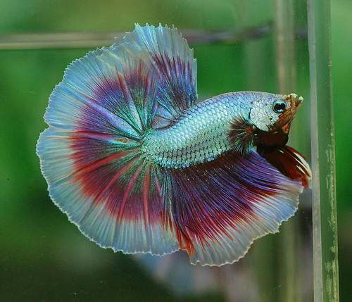 Dsc04625 kitti aquastar71 flickr for Black betta fish for sale