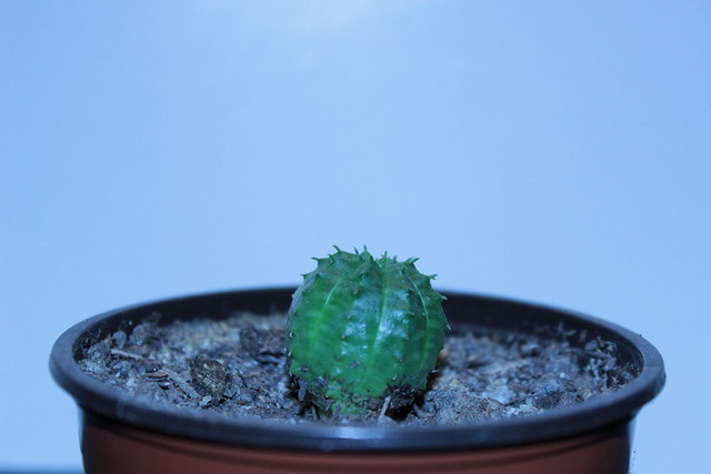 Euphorbia obesa x meloformis. Semis mai 2012.