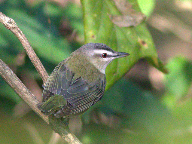 Red-eyed Vireo 3-20130906
