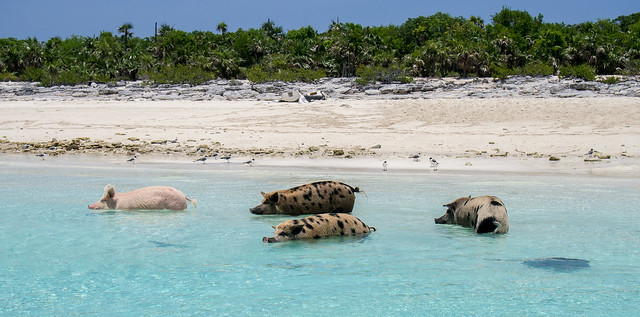 Pig Beach - Swimming Pigs of the Exumas