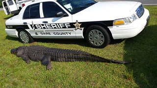800+ pound alligator struck and killed | by USFWS/Southeast