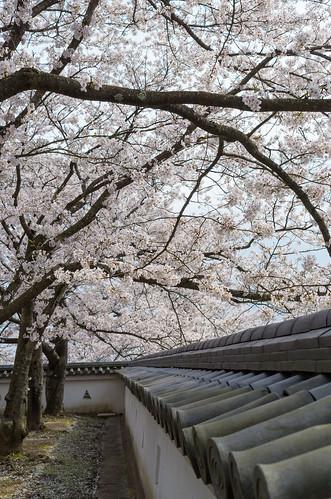 龍野城の桜 5